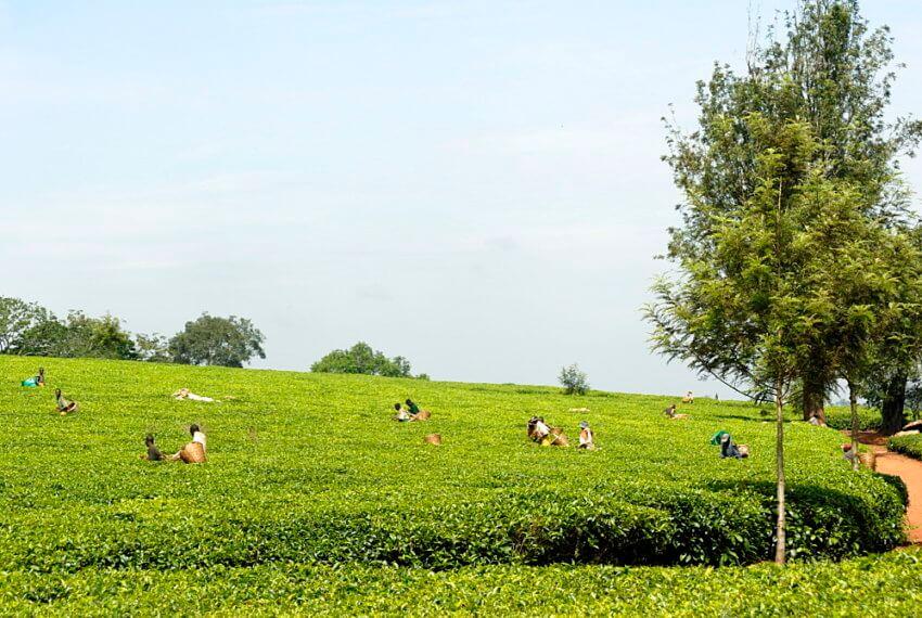 Tea estate, Ruwenzori Mountains Tea Estate, Uganda, East Africa, Africa