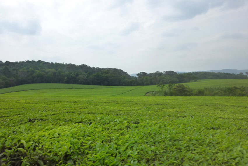 Tea Plantaion for sale in Fort Portal Uganda