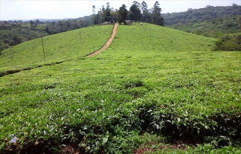 Tea Plantation for Sale in Uganda