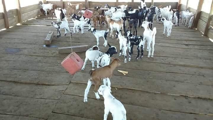 livestock farm Kamuli